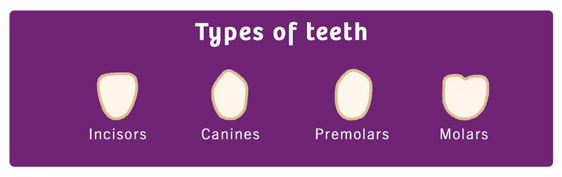 types of baby teeth